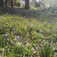 Bluebells at Berkley