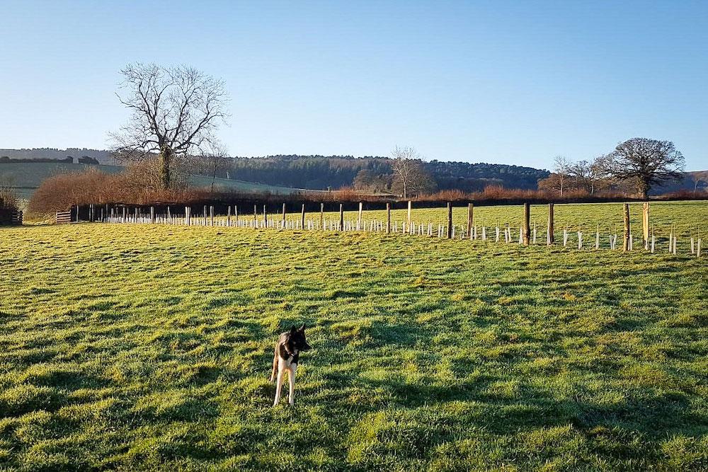 New hedgerow planted at Horner Farm, Porlock Vale, Somerset.