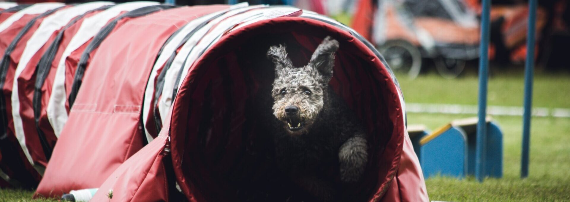 Dog in agility course tunnel