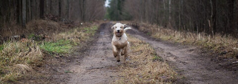 dog running through woods