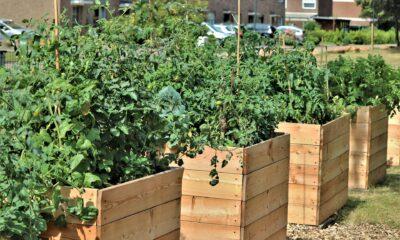 Vegetables growing in wooden raised vegetable beds